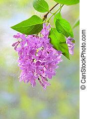 Flores violetas lilas