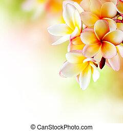 flower., frangipani, tropical, diseño, plumeria, balneario, frontera