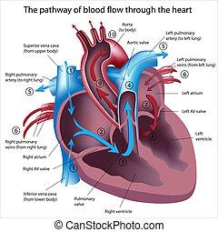 flujo, por, sangre, corazón