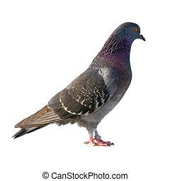 fondo., blanco, aislado, pigeon.