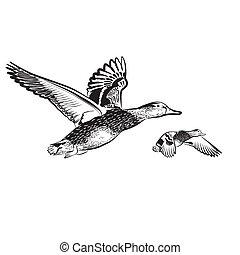 fondo blanco, mosca, patos