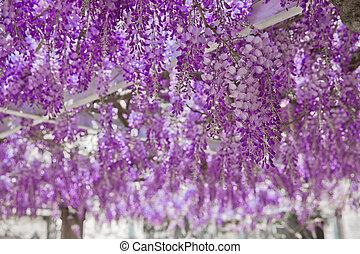 fondo., flor floreciente, arco, naturaleza, glicina, púrpura