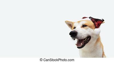 fondo., gris, celerbating, navidad, perro, hat., perrito, lentejuelas, akita, aislado, santa