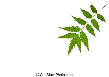fondo., hoja, asia., medicinal, sur, este, aislado, siamensis, verde, var., indica, azadirachta, blanco, valeton., neem