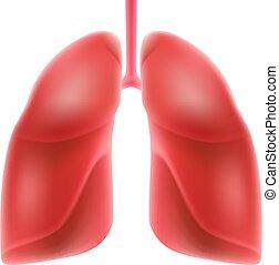 fondo., pulmones, humano, aislado, blanco