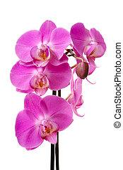 fondo rosa, aislado, flores, (phalaenopsis), blanco, orquídea