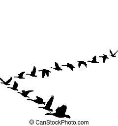 forma, vuelo, gansos, unidad