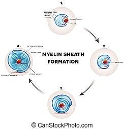 Formación de fundas de mielina