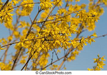 Forsythia arbusto en flor