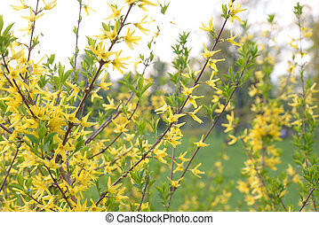 forsythia, florecer, bush.