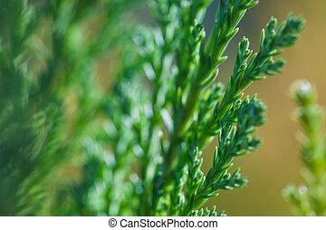 Foto de Macro de ramas verdes de la planta de arbustos de Juniper Evergreen con antecedentes marrones