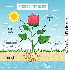 fotosíntesis, educativo, cartel