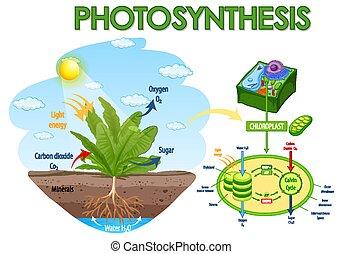 fotosíntesis, planta, actuación, diagrama, proceso
