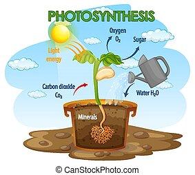 fotosíntesis, planta, diagrama, proceso, actuación