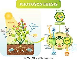 Fotosíntesis, vector biológico diagrama de ilustración con esquema celular de plan.
