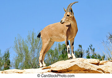 Fotos de la vida salvaje - ibex