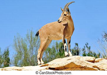 fotos, fauna, -, ibex