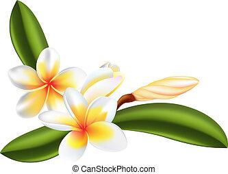 Frangipani o flor de ciruela