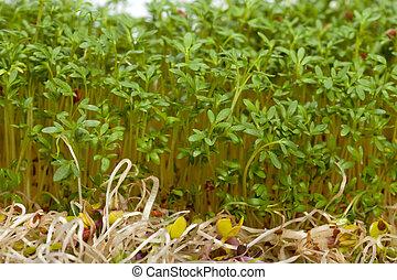 Frescos brotes de alfalfa y crestas de fondo blanco