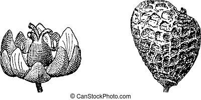 Fumador eurasiático o rhus cotinus, grabado antiguo
