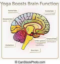 función, cerebro, yoga, boosts