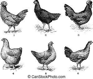Gallinas, 1. Pollo Houdan. 2. Atiende la flecha. 3. Hen crevecoeur. 4. Cochin gallina. 5. Gallina Dorking. 6. Pollo de bresse, grabado añejo.