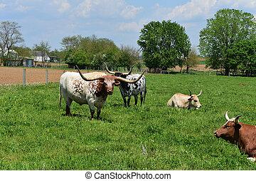 Ganado Longhorn en una granja en Pennsylvania