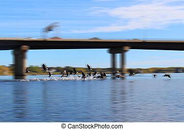 Gansos canadienses despegando para hacer salpicaduras en el agua