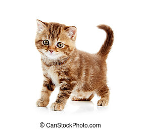 gatito, shorthair, aislado, británico, gato