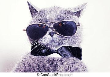 gato, británico, llevando, gris, retrato, gafas de sol, shorthair