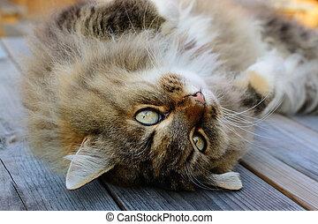 Gato noruego del bosque con mirada tierna.