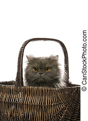 Gato persa gris en canasta.
