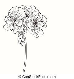 geranio, dibujo, flor