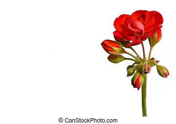 geranio, (pelargonium), flor