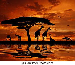 Giraffe al atardecer
