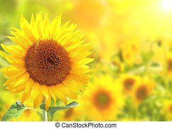 Girasoles amarillos brillantes