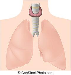 Glándula tiroidea, eps10