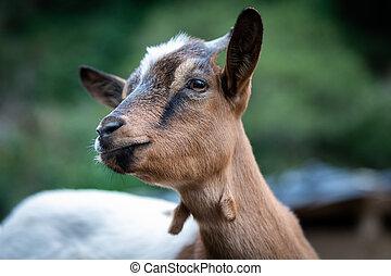 goat, enano, simpático, retrato