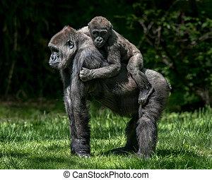 Gorila a caballito