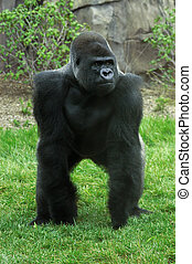 gorila de silverback