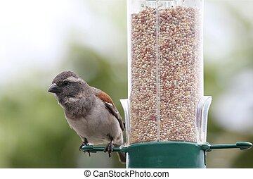 gorrión, alimentador del pájaro