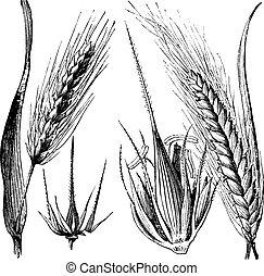 grabado, bisagra, vulgare, vendimia, distichum, cebada, hordeum, o, común