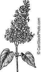 grabado, lila, vendimia, sp., syringa, o