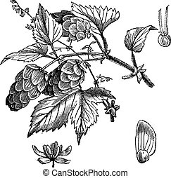 grabado, lupulus de humulus, vendimia, común, salto, o