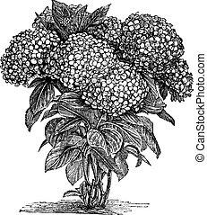 grabado, macrophylla, bigleaf, hydrangea, vendimia, o