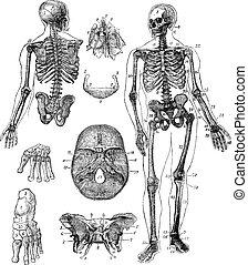 grabado, vendimia, esqueleto, humano
