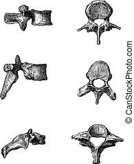 grabado, vendimia, humano, vértebras