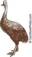Grabando ilustraciones de avestruz cassowary