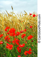 Grain y campo de amapola