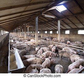 Gran granja de cerdos